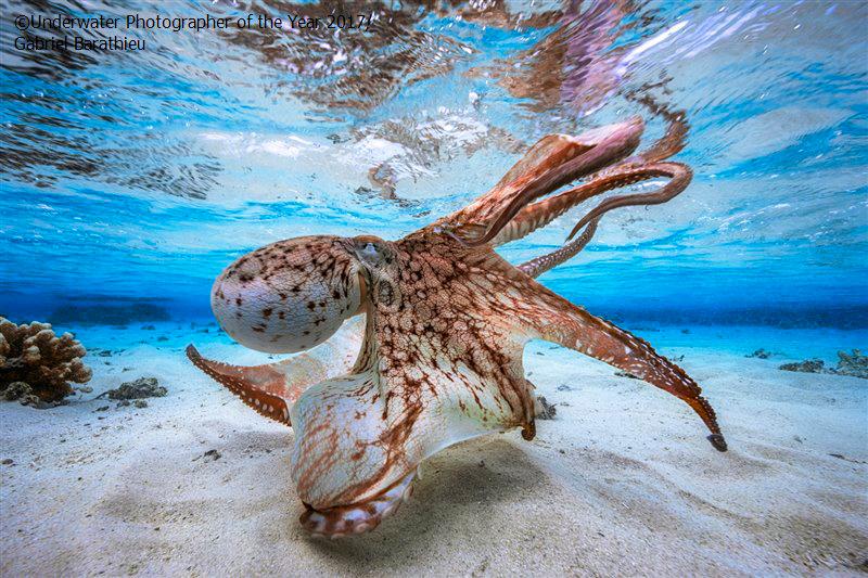 dancing Octopus by Gabriel Barathieu